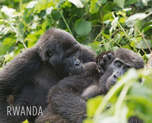 Luxury Safaris Rwanda - Gorilla
