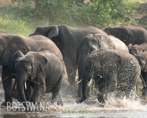 Luxury Safaris Botswana - Elephants in the Okavango Delta