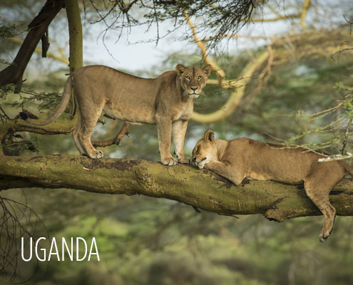 Uganda Luxury Safari